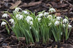 Galanthus nivalis Flore Pleno. A double snowdrop often found in early spring gardens stock photography