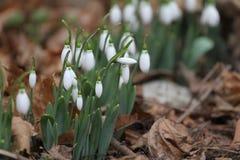 Galanthus nivalis Snödroppevårblommor Snödroppe eller Galanthus Vårblommasnödroppen är den första blomman slutligen av vintern Fotografering för Bildbyråer