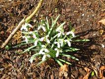Galanthus Nivalis, Snowdrop comum, aglomera-se em março Fotografia de Stock