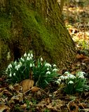 Galanthus nivalis-snowdrops Royalty Free Stock Photo