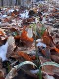 Galanthus nivalissnödroppe Arkivbilder