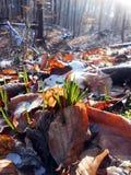 Galanthus nivalissnödroppe Royaltyfria Foton