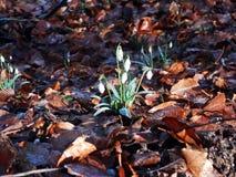 Galanthus nivalissnödroppe Royaltyfria Bilder