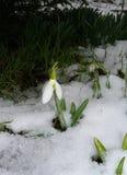 Galanthus onder sneeuw Royalty-vrije Stock Afbeelding