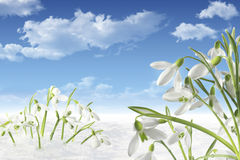 Galanthus in snow Stock Photos