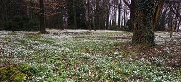 Galanthus. Snow drops carpeting this woodland floor mixed with a few aconites during late February in Norfolk uk royalty free stock image