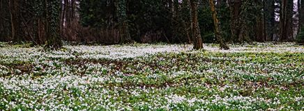 Galanthus. Snow drops carpeting this woodland floor mixed with a few aconites during late February in Norfolk uk royalty free stock images