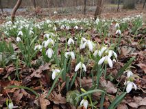 Galanthus or snowdrop family of Amaryllis. Galantus, or snowdrop in spring park stock photography