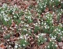 Galanthus or snowdrop family of Amaryllis. Galantus, or snowdrop in spring park stock images
