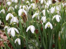 Galanthus or snowdrop family of Amaryllis. Galantus, or snowdrop in spring park royalty free stock photos