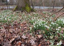 Galanthus or snowdrop family of Amaryllis. Galantus, or snowdrop in spring park stock photo