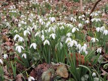 Galanthus or snowdrop family of Amaryllis. Galantus, or snowdrop in spring park stock image