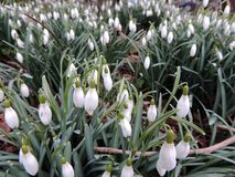 Galanthus or snowdrop family of Amaryllis. Galanthus, or snowdrop in spring park stock images