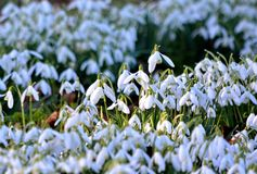 Galanthus (snowdrop) Stock Photography