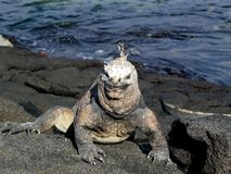 Galapagoes marine iguana Royalty Free Stock Photography