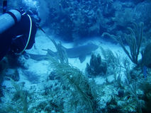 galapagos ö av den undervattens- hajen Arkivfoto