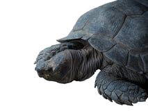 Galapagos żółw Zdjęcie Stock