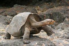 galapagos żółwia Obrazy Royalty Free