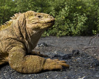 galapagos έδαφος iguana Στοκ Εικόνα