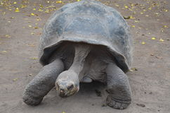 galapagos λατινικό nigra ονόματος geochelone Στοκ Εικόνες