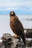 Galapagos γεράκι που σκαρφαλώνει στο βράχο στοκ εικόνες με δικαίωμα ελεύθερης χρήσης