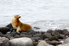 galapagos θάλασσα λιονταριών νησ&io στοκ εικόνα με δικαίωμα ελεύθερης χρήσης