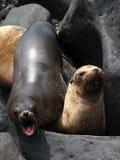 galapagos θάλασσα υπολοίπου λιονταριών Στοκ φωτογραφία με δικαίωμα ελεύθερης χρήσης