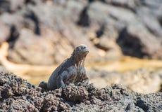 Galapagos θαλάσσια Iguana θέρμανση στις ακτίνες ήλιων Στοκ εικόνα με δικαίωμα ελεύθερης χρήσης