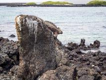 Galapagos θαλάσσιο Iguana που στηρίζονται στους βράχους λάβας Στοκ Εικόνα