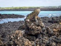 Galapagos θαλάσσιο Iguana που στηρίζονται στους βράχους λάβας Στοκ φωτογραφία με δικαίωμα ελεύθερης χρήσης