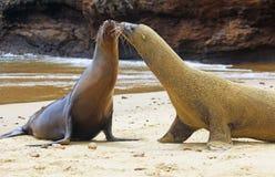 Galapagos λιοντάρια θάλασσας Στοκ εικόνα με δικαίωμα ελεύθερης χρήσης