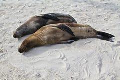 Galapagos λιοντάρια θάλασσας Στοκ Εικόνα