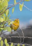 Galapagos κίτρινο finch συλβιών Στοκ Φωτογραφία