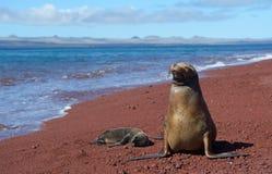 Galapagos λιοντάρι θάλασσας με cub 2 στοκ φωτογραφία