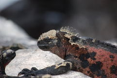 galapagos ναυτικό iguana Στοκ εικόνα με δικαίωμα ελεύθερης χρήσης