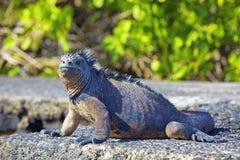 galapagos ναυτικό iguana Στοκ Εικόνες