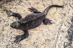 galapagos ναυτικό iguana Στοκ φωτογραφία με δικαίωμα ελεύθερης χρήσης