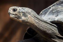 galapagos ο γίγαντας Στοκ Εικόνες