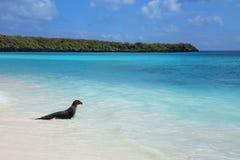 Galapagos παιχνίδι λιονταριών θάλασσας στο νερό στον κόλπο Gardner, Espanola Isl Στοκ Φωτογραφίες