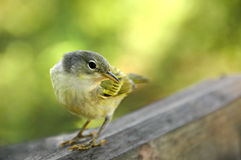 galapagos συλβία κίτρινη στοκ εικόνα με δικαίωμα ελεύθερης χρήσης