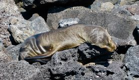 Galapagos σφραγίδα γουνών Στοκ Εικόνα