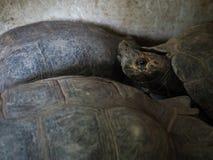 Galapagos χελώνα Στοκ φωτογραφία με δικαίωμα ελεύθερης χρήσης