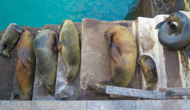 Galapagos ύπνου λιοντάρια θάλασσας Στοκ Φωτογραφίες