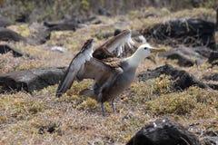 Galapagos-Albatros Lizenzfreie Stockfotos