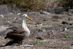 Galapagos Albatross. Albatross sitting near the shore in the Galapagos Islands stock photo