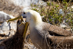 Galapagos Albatross Feeding Chick. Galapagos Albatross feeding her baby in Ecuador stock photography