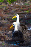 Galapagos Albatross Royalty Free Stock Photo