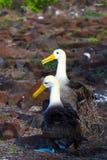 Galapagos Albatross Royalty Free Stock Photo