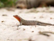 Galapagos Albemarle jaszczurki Microlophus Lawowy albemarlensis Zdjęcia Stock