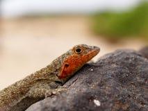 Galapagos Albemarle jaszczurki Microlophus Lawowy albemarlensis Zdjęcia Royalty Free